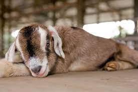 Hay Dairies Pure Goat Milk - Home | Facebook